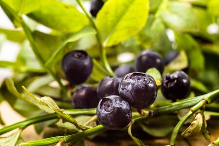Blueberries on bushes with leaves, macro
