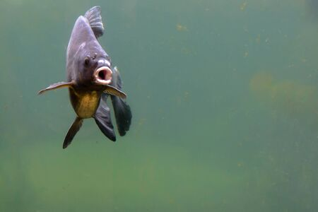Common carp. Freshwater fish, underwater shot in pond. Traditional christmas food in Poland.