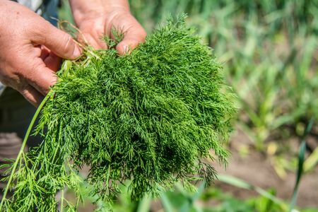 Freshly harvested dill. Farmer harvesting green dill. Fresh farm vegetables, organic farming concept. Banco de Imagens