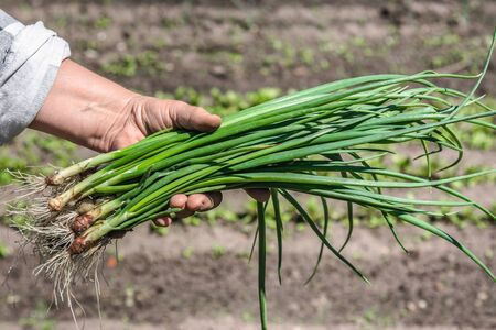 Fresh green onion, harvested freshly organic vegetables in the farmer garden, bio food concept