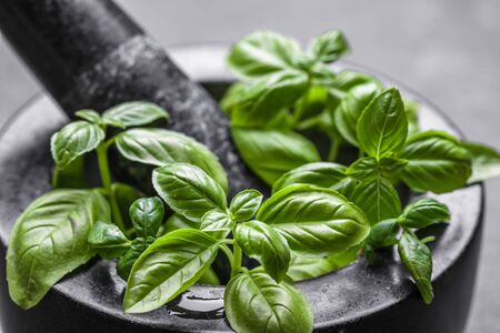 Green fresh basil leaves, closeup