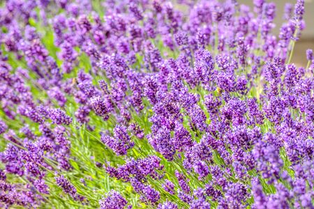 Field of lavender flower, purple nature background