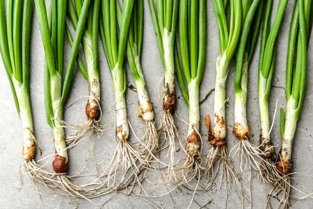 Chives or spring onion, freshly harvested green onions, organic vegetables from the soil Banco de Imagens