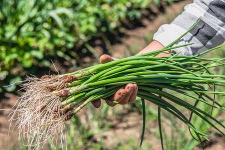 Fresh green onion, dirty vegetables harvested freshly from organic garden