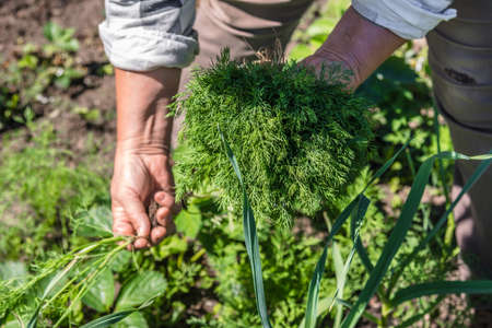 Fresh organic vegetables harvesting in the garden. Farmer with freshly harvested dill in hands. Stock fotó - 157444513