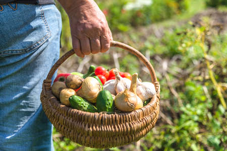 Bio food. Farmer with harvested vegetables. Fresh farm produce in wooden basket.