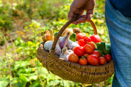 Farmer with vegetables in the basket. Freshly harvested produce in the garden - farm fresh vegetable, organic farming concept. Stock fotó - 157286656