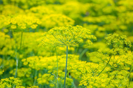Fresh herb in the garden. Flowers of dill on farm, organic farming concept. Stock fotó