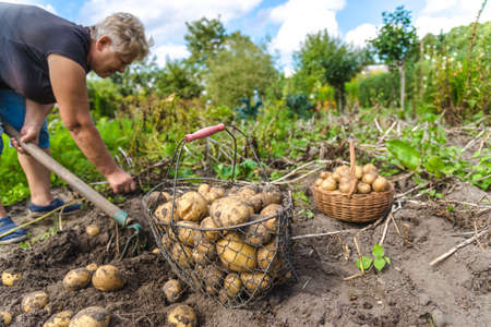 Fresh farm potato harvest. Farmer digging potatoes in field, organic farming concept. Stock fotó - 157287201