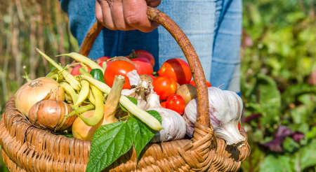 Garden produce and harvested vegetables. Farmer with bio food. Fresh farm vegetable in the basket - tomato, onion, garlic, yellow bean. Stock fotó - 157286686