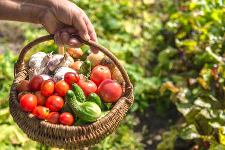 Garden produce and harvested vegetables. Farmer with bio food. Fresh farm vegetable in the basket - tomato, cucumber, garlic.