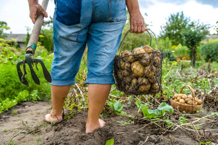 Bio vegetable farming. Organic potato harvest on field. Farmer digging potatoes from the soil.