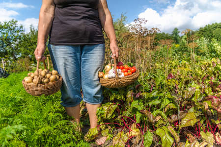 Farmer with vegetables in the basket. Freshly harvested produce in the garden - farm fresh vegetable, organic farming concept. Stock fotó