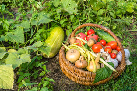 Bio food. Garden produce and harvested vegetable. Fresh farm vegetables in the basket.