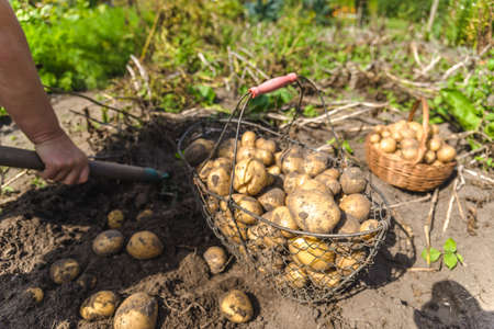 Fresh organic potato harvest on field. Farmer digging potatoes from the ground.