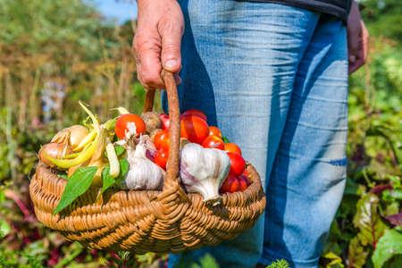 Farmer with vegetables in the basket. Freshly harvested produce in the garden - farm fresh vegetable, organic farming concept. Stock fotó - 157287513