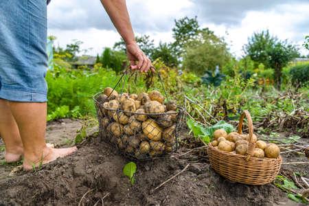Fresh farm potato harvest. Farmer digging potatoes in field, organic farming concept. Stock fotó - 157287056
