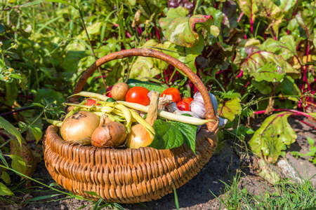 Bio food. Garden produce and harvested vegetable. Fresh farm vegetables in the basket. Stock fotó - 157286324