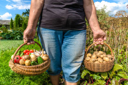 Garden produce and harvested vegetables. Farmer with bio food. Fresh farm vegetable in the basket - potato, tomato, cucumber, onion, garlic.
