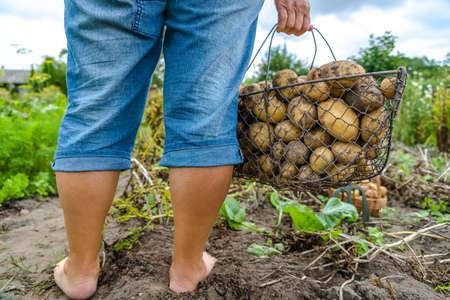Fresh farm potato harvest. Farmer digging potatoes in field, organic farming concept. Stock fotó