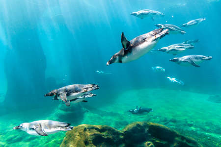 Wroclaw, Poland - June 2, 2018: Penguin swimming underwater in the aquarium, Wroclaw zoo, Poland. Penguin under water.