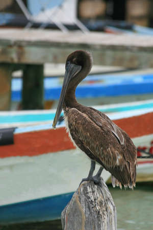 A brown pelican on the beach in Cancun, Mexico