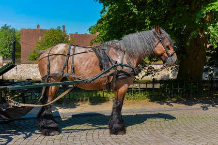 Belgian phaeton horse and harness Stock Photo