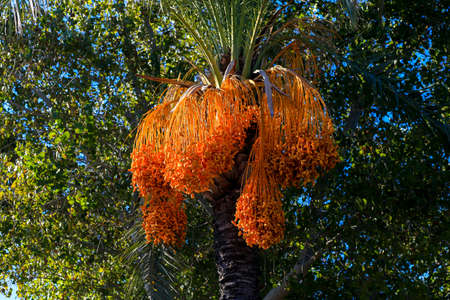 Palm trees and the fruits of the sheaves in Turkey 免版税图像