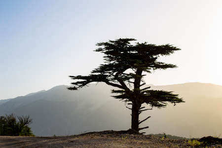 The only pine tree on the road in Turkey