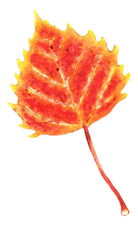 Autumn birch leaf. It has yellow, orange, red and brown colors. Drawn by hand. Isolated on white background.