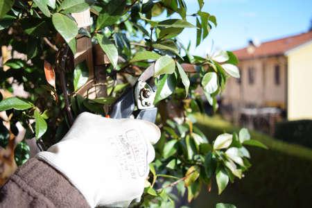 climbing plant: hand shears to prune climbing plant