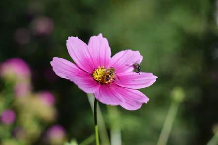 pistils: pink flower with yellow pistils, with bee and fly resting Stock Photo