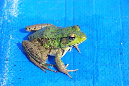 防水シートのカエル。