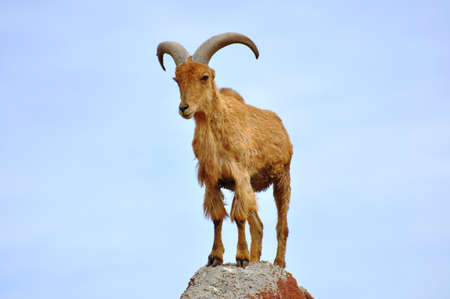 Goat on mountaintop.