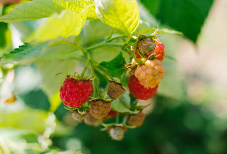 Green raspberry Bush with ripe berries.A collection of summer harvest.Summer season.