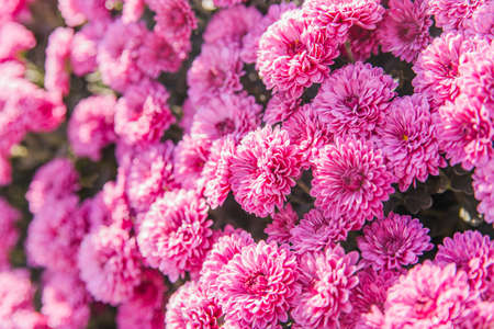 Chrysanthemum flowers blooming in the garden. The beauty of autumn flowers. The flowers are dark pink. Archivio Fotografico