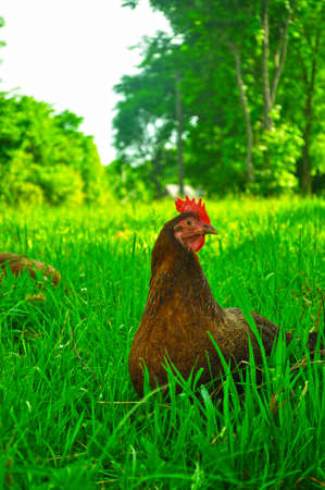 chuckle: brown chicken on the green grass