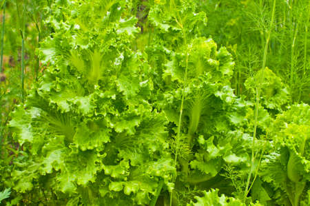 folate: green lettuce with dill in home garden Stock Photo