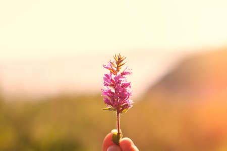 heathen: Purple heather in hand on background of sunset valley Stock Photo