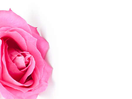 beautiful rose: Pink beautiful rose on white background