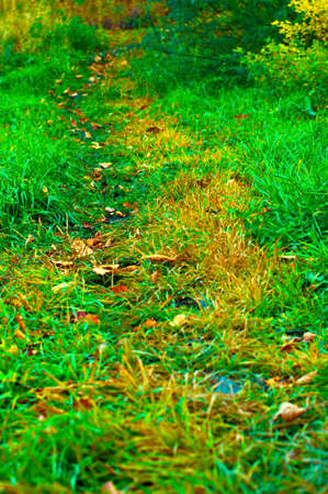 yellowed: green path in autumn forest with oak leaves and yellowed grass