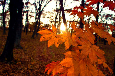 copse: golden maple in the autumn forest and the sun