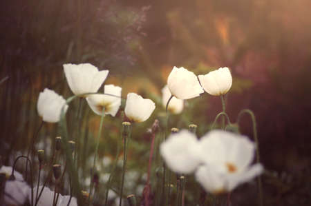 White poppies in poppy garden in gentle summer sunlight