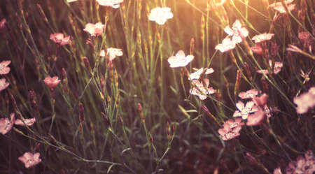 Pink flowers in summer garden in gentle sunlight Stock Photo