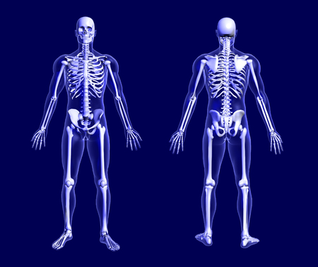 skeleton anatomy: 3D render of an X-ray skeleton on blue, front and back views.