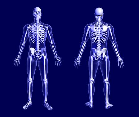 scheletro umano: Il rendering di uno scheletro di raggi x sul fronte blu e torna viste 3D. Archivio Fotografico