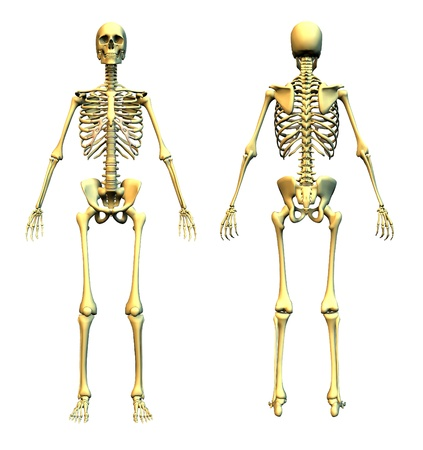 Anatomically correct 3D render of a skeleton - front and back. Stock Photo