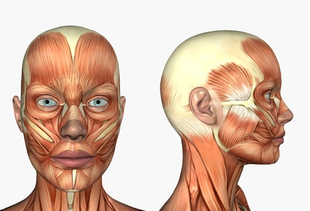 3D render depicting human anatomy - muscles - female head