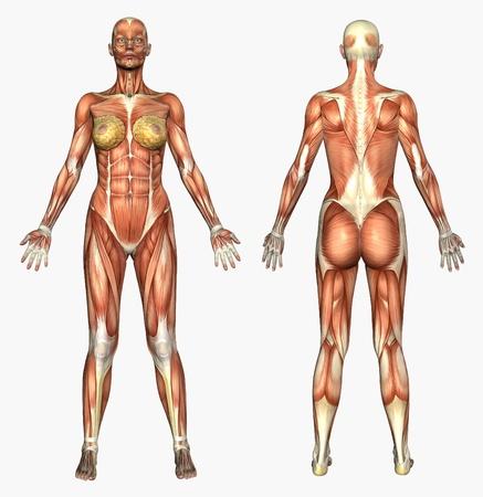 3D render afbeelding van menselijke anatomie - spieren - vrouw.