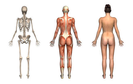 Anatomical overlays, female, front view. These images will line up exactly, and can be used to study anatomy. 3D render.